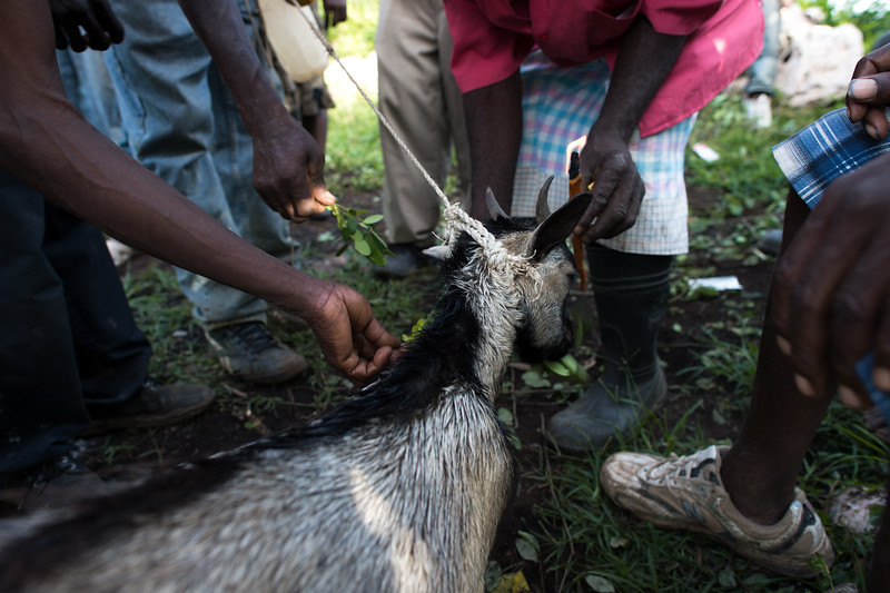 Vodouisants offer a sacrificial goat food in the hopes that it will eat. If an animal refuses to eat its non-participation is taken as a sign that it is not willing to give its consent to be killed.