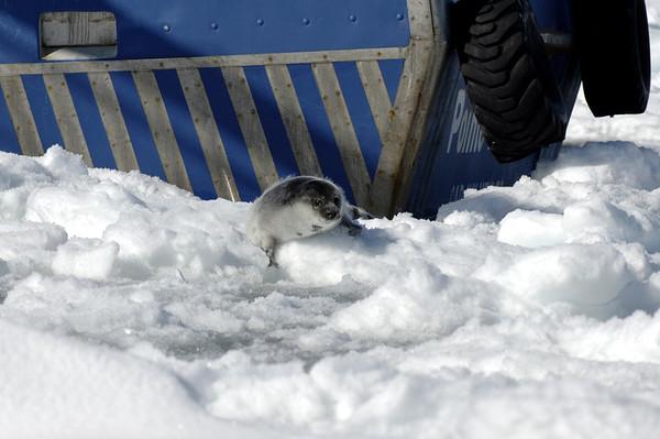 A few week old harp seal.