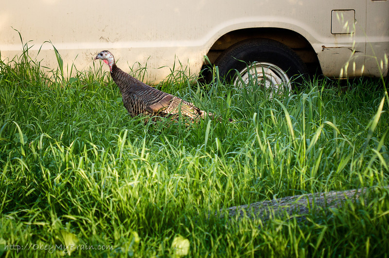 January 21, 2012 - Backyard Gobbler<br /> <br /> This wild turkey has been roaming around our backyard since the summer.