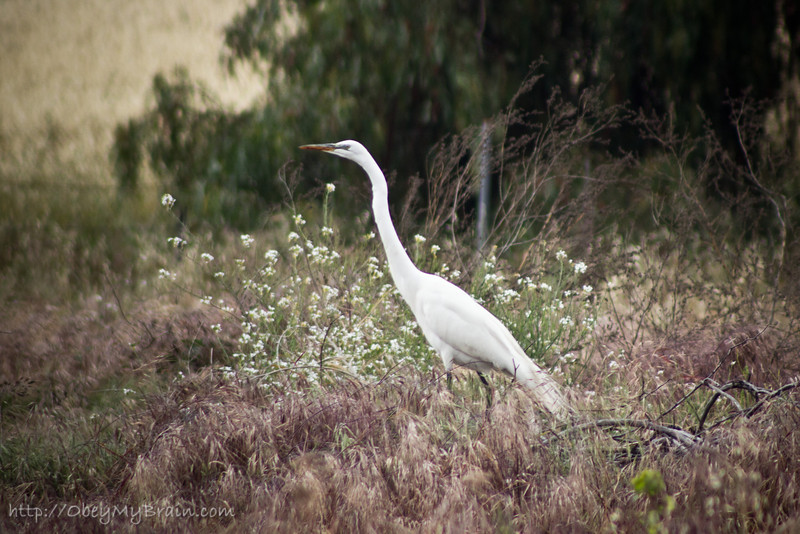 April 28, 2012<br /> <br /> A pair of Great Egrets has been hanging around our backyard for a few months eating lizards.