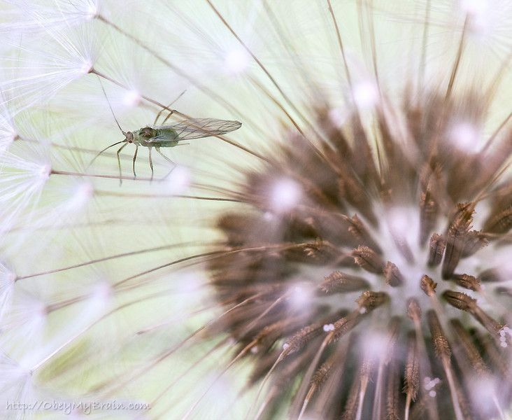 March 6, 2012 - Clinging to the Wind<br /> <br /> I discovered that the lone dandelion in our backyard had a little companion.