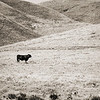 August 4, 2006<br /> <br /> The cow is located along CA hwy 101 on the way to San Jose