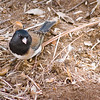 November 26, 20006<br /> <br /> I don't know what kind of birds these are but there were a bunch of them hopping around under the oak tree.