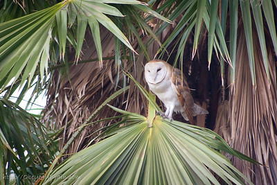 October 21, 2006  Barn Owl, I think.  My backyard did not have the best of conditions tonight. After sunset, ISO 800, 300mm, f/5.6, 1/15 sec, even on the monopod only got about 6 non-blur shots out of aroud 64 before it flew away.