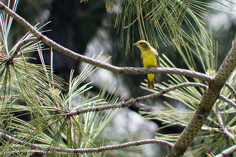 May 7, 2006<br /> <br /> Female Western Tanager