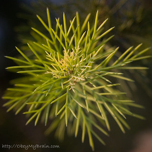 December 2, 2006  This prickly bush is in my front yard. I say prickly because whenever I touch it I break out in hives. It started as a live christmas tree and is now over 20 feet tall.  The lens used was a Canon 28-105 f/3.5-4.5