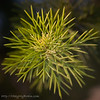 December 2, 2006<br /> <br /> This prickly bush is in my front yard. I say prickly because whenever I touch it I break out in hives. It started as a live christmas tree and is now over 20 feet tall.<br /> <br /> The lens used was a Canon 28-105 f/3.5-4.5