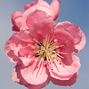 March 11, 2007<br /> <br /> Peach Blossom
