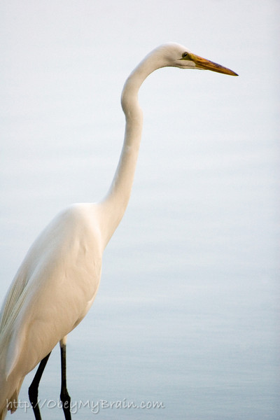 May 27, 2007<br /> <br /> Great Egret