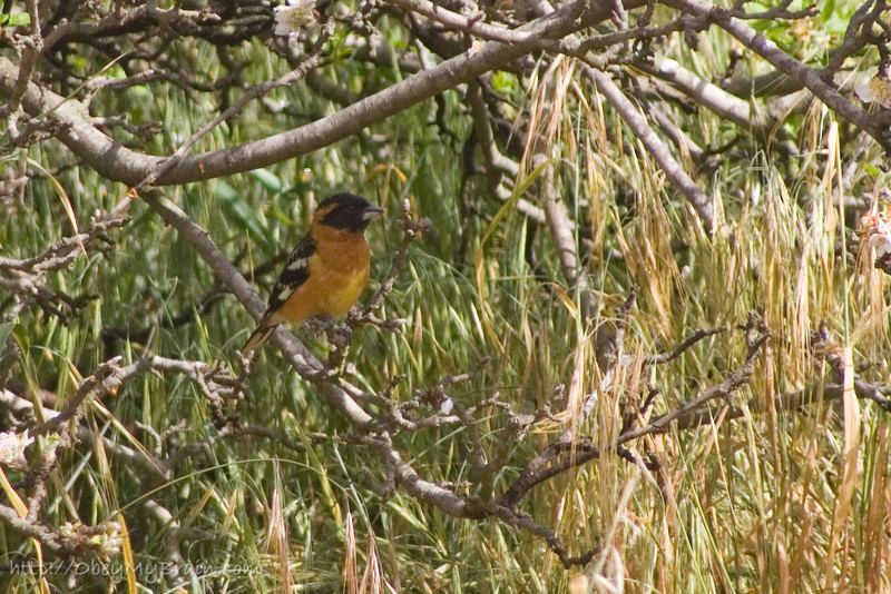 April 21, 2007 <br><br> It's actually a Black-Headed Grosbeak not an Oriole <br><br><strike>Anyone know what kind of bird this is? Looks like an oriole but I can't find one with the same coloring around it's neck, and it's beak looks different. In San Diego.</strike>