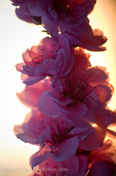 March 25, 2007<br /> <br /> Peachblossoms in the Sun