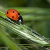 March 30, 2007<br /> <br /> Ladybug in the Grass