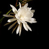 June 30, 2007<br /> <br /> Night Blooming Cereus<br /> <br /> This cactus flower bloomed last night under the light of the full moon. These 8 inch blooms only open for one night then wilt away in the morning.