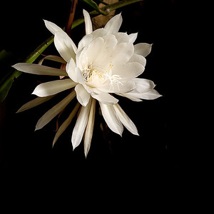 June 30, 2007  Night Blooming Cereus  This cactus flower bloomed last night under the light of the full moon. These 8 inch blooms only open for one night then wilt away in the morning.