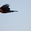 February 16, 2007<br /> <br /> Red Shouldered Hawk in flight