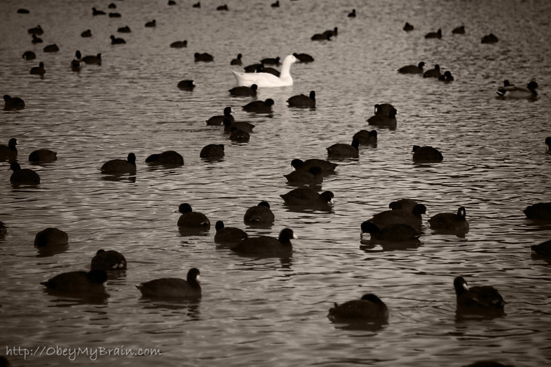 February 20, 2007<br /> <br /> A Whole Mess of Coots