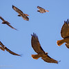March 2, 2007<br /> <br /> Red Tailed Hawk in Flight