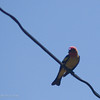 May 9, 2007<br /> <br /> Male Western Tanager