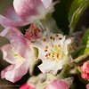 April 9, 2007<br /> <br /> Apple Blossoms
