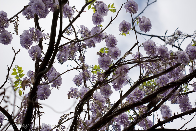 March 21, 2007<br /> <br /> The Wisteria is Blooming