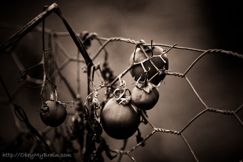 December 30, 2007<br /> <br /> Tomatoes