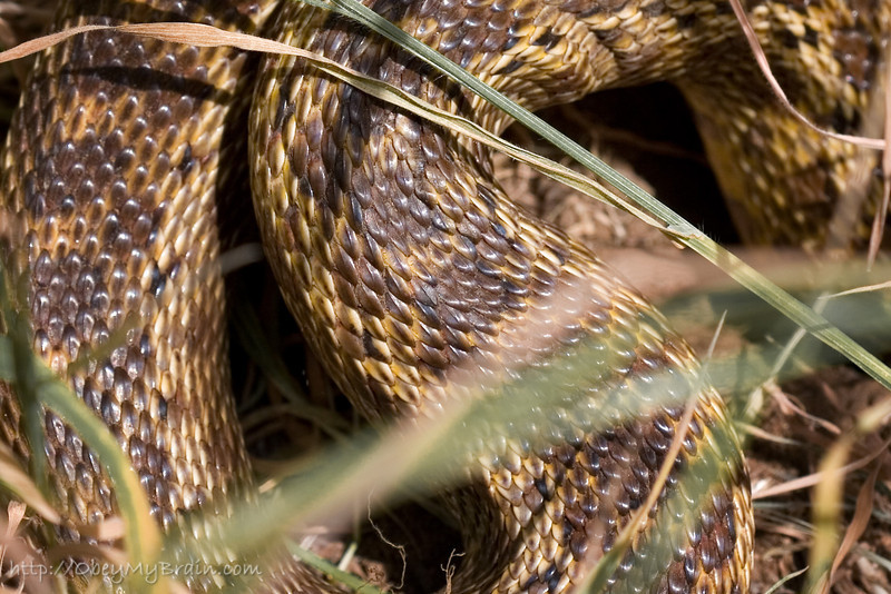April 7, 2007<br /> <br /> Snake, oh snake, oooooh it's a snake.<br /> <br /> Gopher Snake, probably about 4 feet long