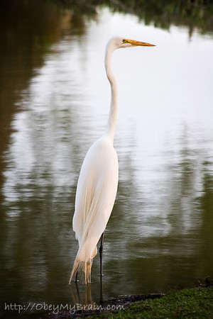 May 28, 2007  Great Egret