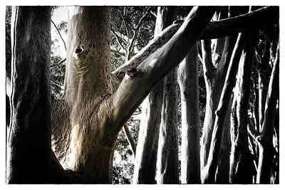 Gum Trees Kings Park Perth