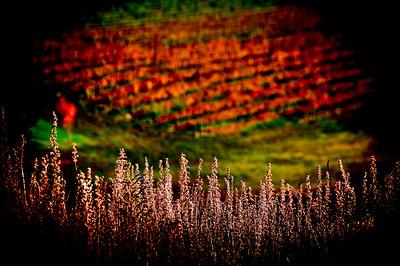 Pinot (II) Bald Hills Vineyard Central Otago
