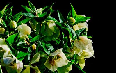 Hellebore (Winter Rose)