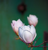 A Magnolia For Sam (II)<br /> Springtime approaches and as the sun spreads her rays of warmth, flowers respond.