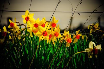 Roadside Daffodils Southland