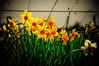 Roadside Daffodils<br /> Southland