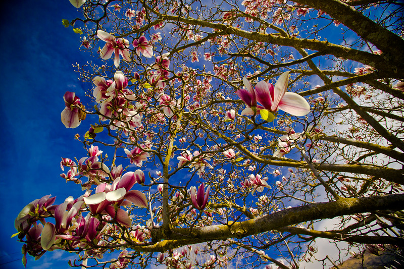 The absolute beauty of the Magnolia