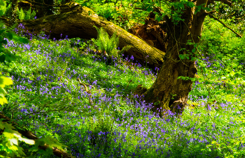 Bluebells at Fyne Court