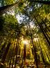 A walk through the redwoods.<br /> Rotorua