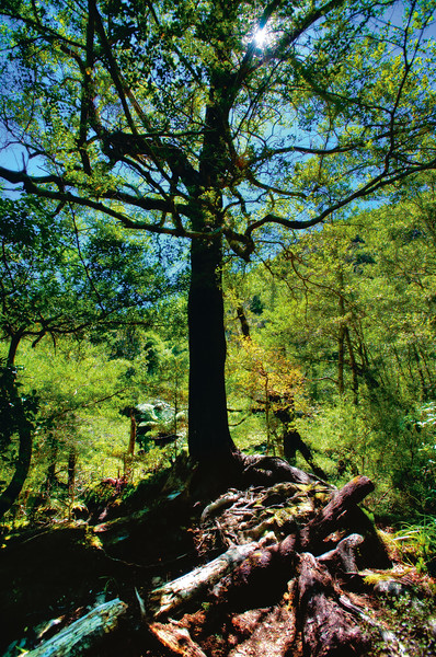 A Tree at Kaitoke