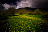 Yellow buttercups cover a field in golden colour.<br /> Lake Kaniere<br /> New Zealand