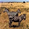Zebras in the Masai Mara National Reserve, Kenya