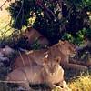 Lions in the Masai Mara National Reserve, Kenya