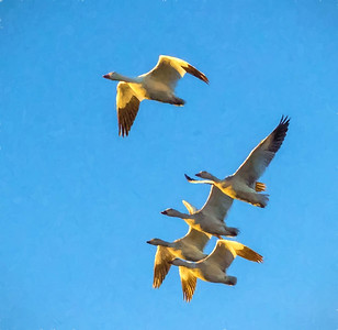 Snow Geese 3