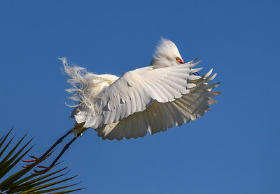 """Reaching for the Sky"" Snowy Egret taking flight in San Pasqual, California."