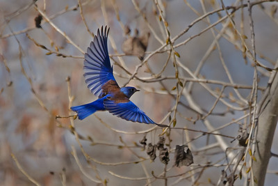 Male Western Bluebird assisting in the search for a nesting site in Mast Park, Santee, California.