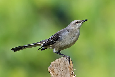 Male Northern Mockingbird on soft green background.  (Accomplished by shooting with a shallow depth of field to blur the bush behind the bird.)