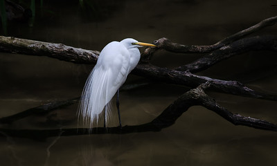 Great Egret fishing a small pond in San Diego, California.