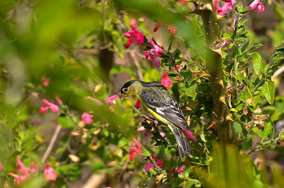 """Blending In"" Male Lesser Finch on sage in El Cajon, California."