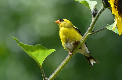 American Goldfinch, in full breeding plumage, perched on a sunflower at Summers Past Farms in Flinn Springs, California.