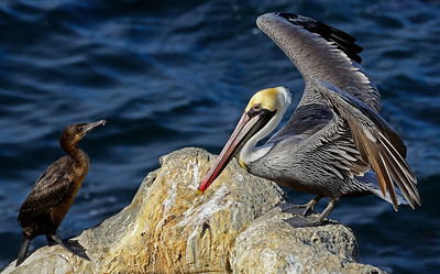 """The Conversation"" Cormorant and Pelican sharing a rock in La Jolla, California."
