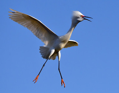 """Look Out Below"" Snowy Egret coming in for a landing in San Diego, California."