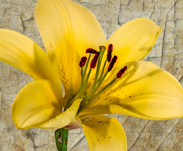 Yellow  Day Lily 1